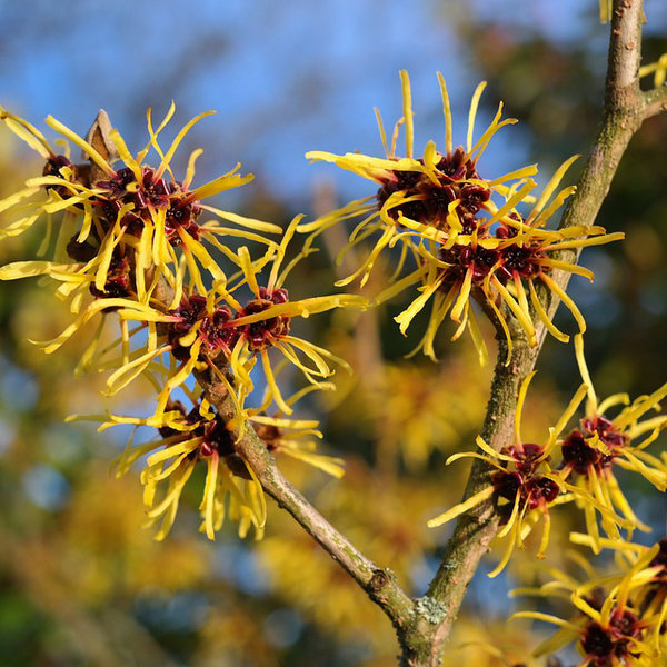 Extracto de hamamelis